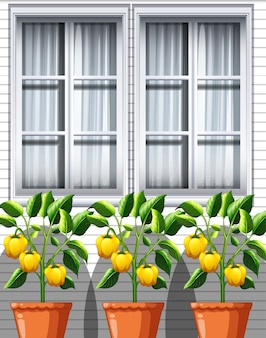 창 배경에 냄비에 3 개의 노란 피망 식물