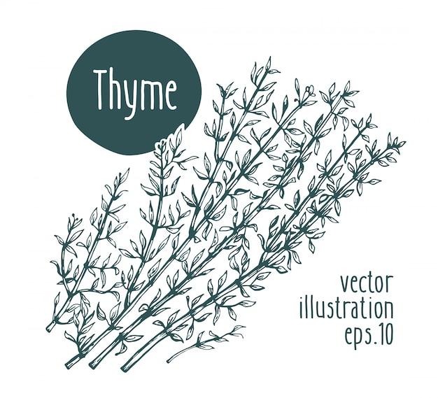 Thyme branch. vector hand drawn illustration.