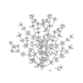 Thyme. illustration of garden fragrant herbs.