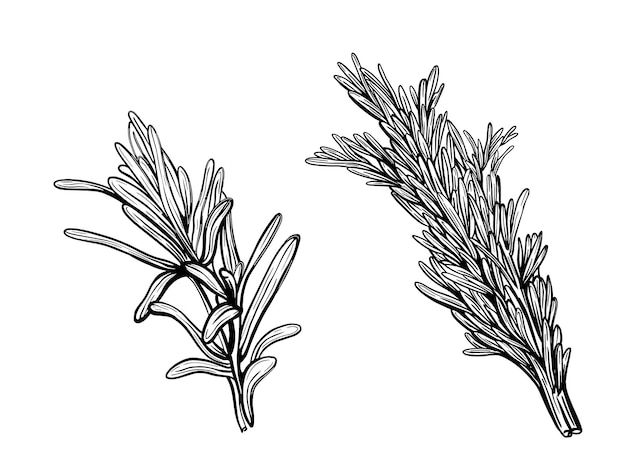 백리향 흰색 절연입니다. 달콤한 백리향의 가지. 매운 조미료의 그림입니다.