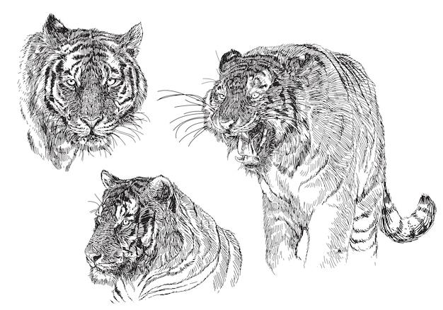 Tiger sketch hand draw black line doodle on white.