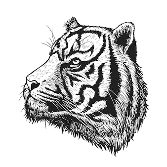 Tiger vector drawing on white.
