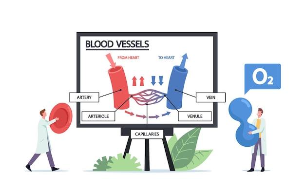 정맥, 동맥 혈관 또는 세동맥의 혈액 순환에 대한 거대한 인포그래픽을 제시하는 작은 의사 캐릭터. 혈액 세포와 산소 입자를 손에 든 메딕. 만화 사람들 벡터 일러스트 레이 션