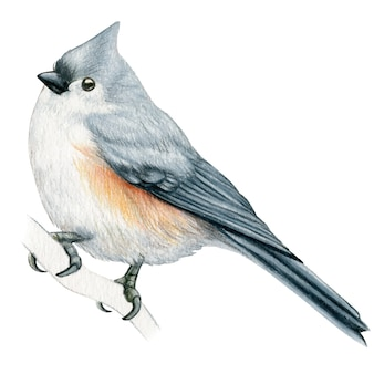 Titmouse hand drawn watercolor pencil bird