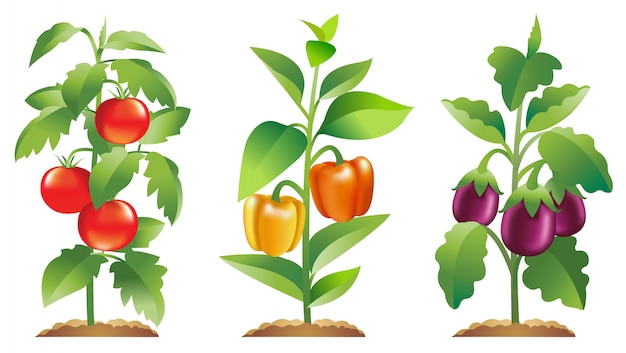 Tomato bell pepper and aubergine plants