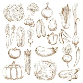 トマト、ニンジンとタマネギ、ナス、唐辛子とピーマン、トウモロコシ、ブロッコリーとカボチャ、キャベツ、きゅうり、ジャガイモ、エンドウ豆とビート、ズッキーニとニンニク、白菜、スカリオン、大根のスケッチ