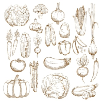 Tomato, carrots and onion, eggplant, chilli and bell peppers, corn, broccoli and pumpkin, cabbage, cucumbers, potato,  pea and beet, zucchini and garlic, chinese cabbage, scallion, radish sketches
