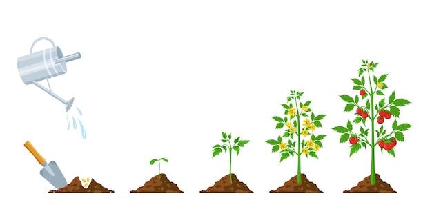 トマトの成長。植物の播種、開花、結実の段階。野菜の緑の芽が育ちます。農業植栽プロセスベクトルインフォグラフィック。花とトマトの植物のライフサイクル