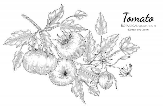 Tomato hand drawn botanical illustration with line art on white