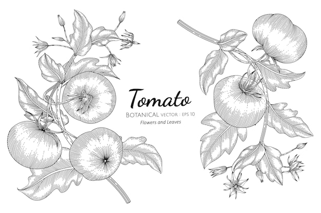 Tomato hand drawn botanical illustration.