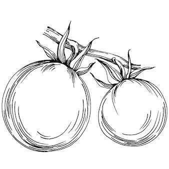 Помидор изолированные элементы. овощи эскиз векторные иллюстрации. гравированный стиль. товар на аграрном рынке. лучшее место для дизайна меню, этикеток, значков, баннеров и продвижения.