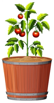 A tomato plant in the pot