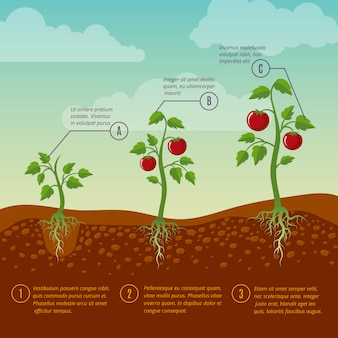 Tomatoes growth and planting stages flat vector diagram