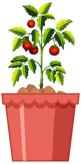 白い背景で隔離の赤い鍋にトマト植物