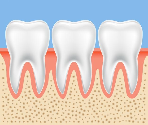 치아 치과 해부학. 고립 된 인간의 치아 뼈 건강 한 그림