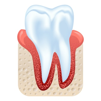 Tooth and gum structure. realistic tooth isolated  illustration.