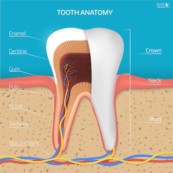 Tooth structure.