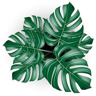 孤立した背景に鉢植えの白いモンステラ熱帯植物の現実的なベクトルの上面図