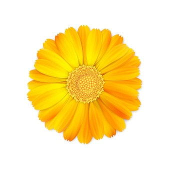 Top view of realistic 3d orange and yellow calendula or marigold flower bud isolated on white background.