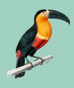 Toucan (ramphastos) illustrated by charles dessalines d'orbigny (1806-1876).
