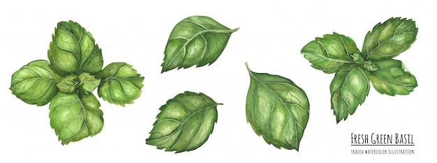 Прослеженная акварельная иллюстрация свежие зеленые листья базилика
