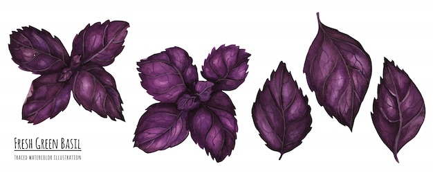Traced watercolor illustration fresh purple basil leaves