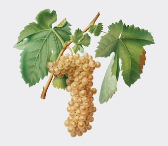 Trebbiano grapes from Pomona Italiana illustration