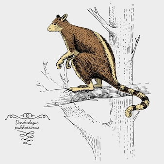 Tree kangaroo engraved, hand drawn illustration in woodcut scratchboard style