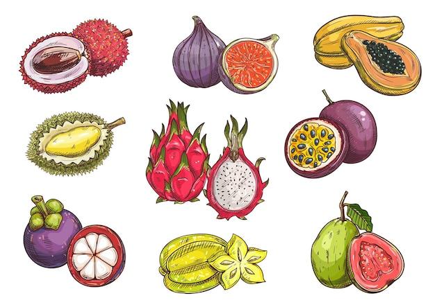 열대 및 이국적인 과일. 열매, 두리안, 망고 스틴, 무화과, 용 과일, 카람 볼라, 파파야, 열정 과일 구아바의 고립 된 벡터 스케치