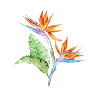 Тропические цветы стрелиция