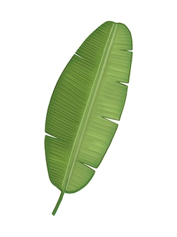 Tropical green banana leaf illustration