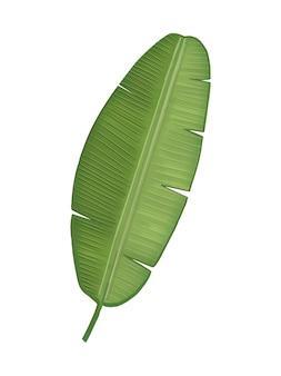 Иллюстрация тропических зеленых банановых листьев