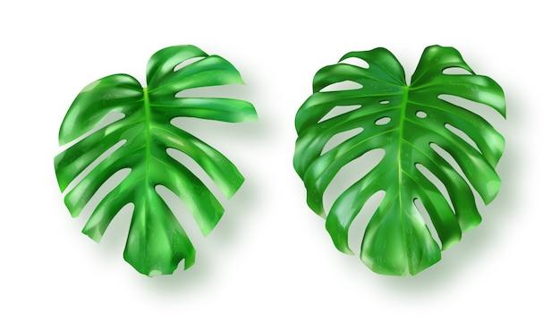Тропические зеленые листья монстера на белом