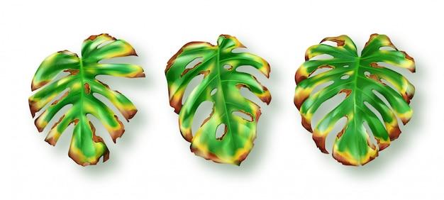 화이트에 열 대 녹색 몬스 테라 잎