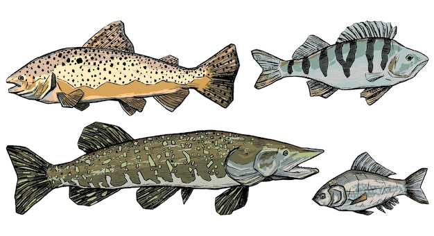 Trout, perch, pike, crucian collection isolated on white. realistic ink sketches of river fish. set of hand drawn vector illustration. colored vintage graphic elements for design.
