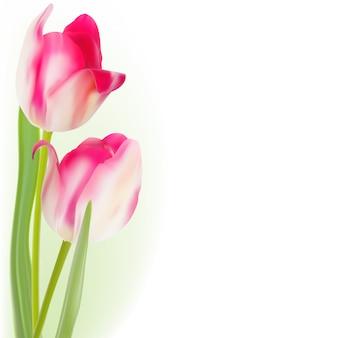 Тюльпаны на белом фоне.