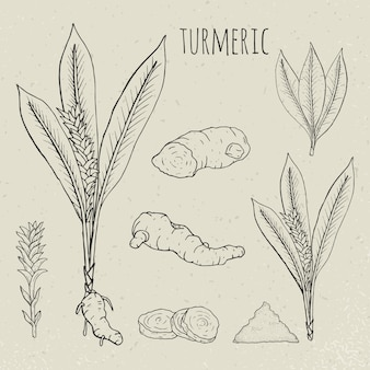 Turmeric medical botanical isolated illustration. plant, root cutaway, leaves, spices hand drawn set. vintage sketch.