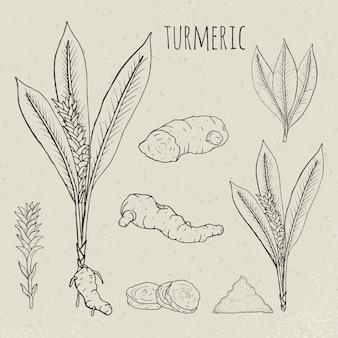 ウコン医療植物分離イラスト。植物、根の断面図、葉、スパイスの手描きセット。ビンテージスケッチ。