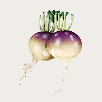 Turnip vegetable vintage vector hand-drawn