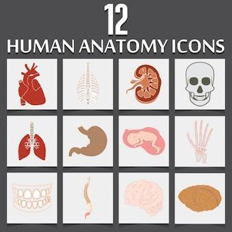 Twelve icons about human anatomy