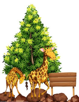 Two giraffes by the wooden sign