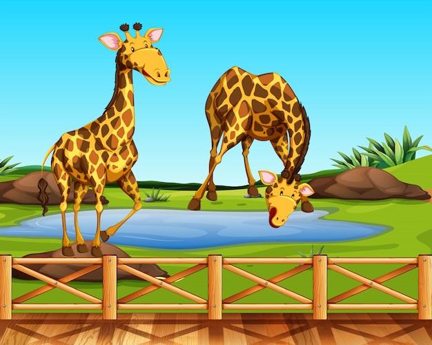 動物園の2つのキリン
