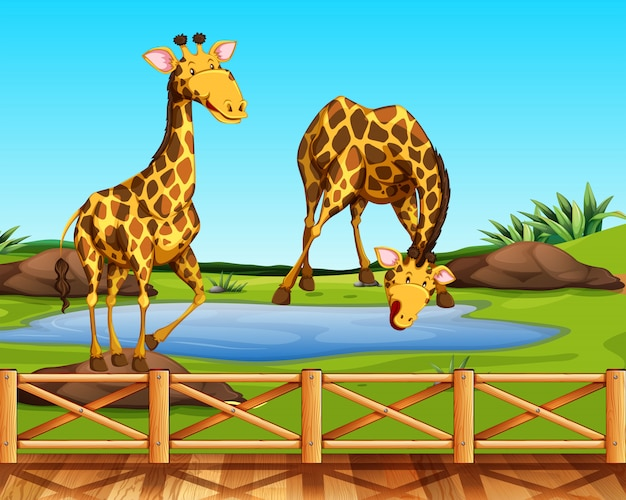 Two giraffes in a zoo