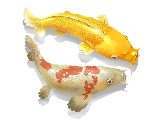 두 개의 일본 잉어 물고기 수영