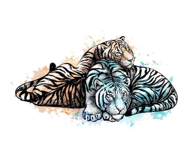 수채화의 스플래시에서 노란색과 흰색 두 호랑이, 손으로 그린 스케치. 그림 물감