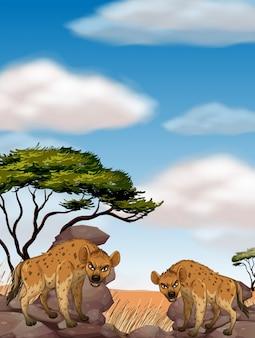 Два диких гиена в поле