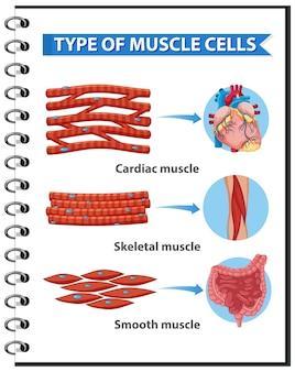 건강 교육을위한 근육 세포 유형 인포 그래픽