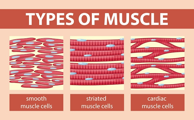 Types of muscle cell diagram