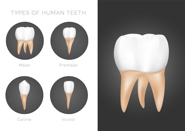 Типы человеческих зубов