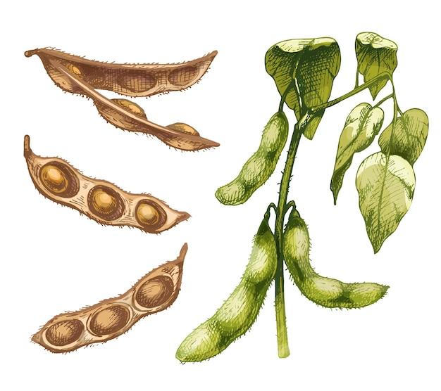 葉と種子が付いている熟していない緑の新鮮で乾燥した大豆のさや。白い背景で隔離のベクトル色ヴィンテージ手描きハッチングイラスト。